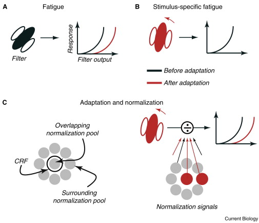 Moving Sensory Adaptation Beyond Suppressive Effects In Single