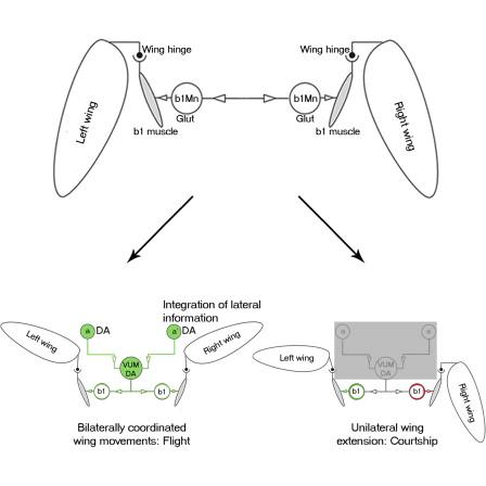 Neural Control of Wing Coordination in Flies - ScienceDirect