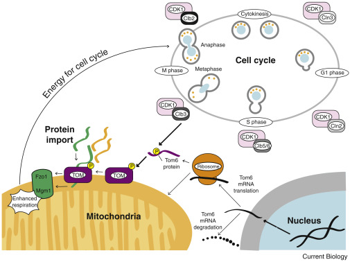 Mitochondrial biogenesis cell cycle dependent investment in making download high res image 439kb ccuart Images
