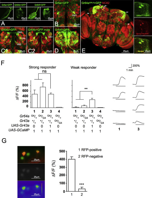 Drosophila Sugar Receptors in Sweet Taste Perception, Olfaction ...