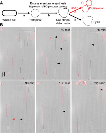 Cell Growth of Wall-Free L-Form Bacteria Is Limited by Oxidative ...