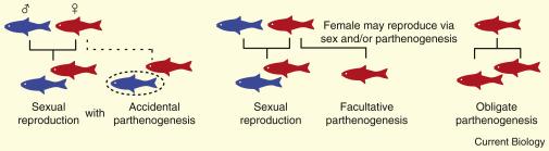 Reproduccion asexual parthenogenesis humans