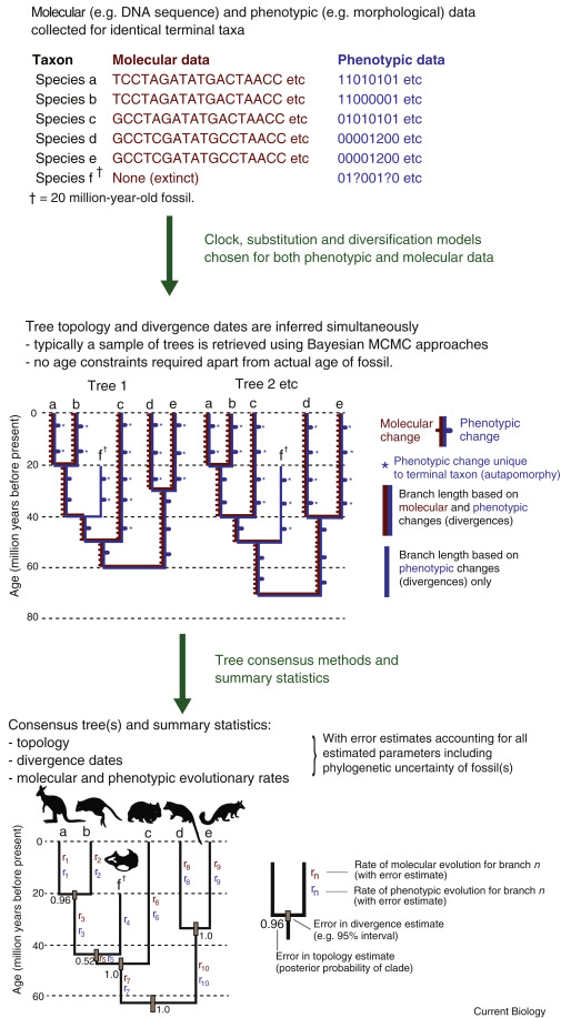 Morphological Phylogenetics in the Genomic Age - ScienceDirect