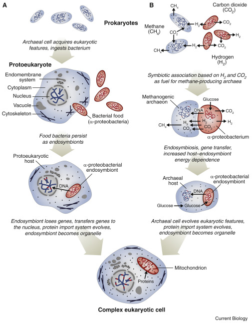 Endosymbiosis And Eukaryotic Cell Evolution Sciencedirect