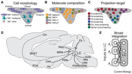 Organization of the Locus Coeruleus-Norepinephrine System ...