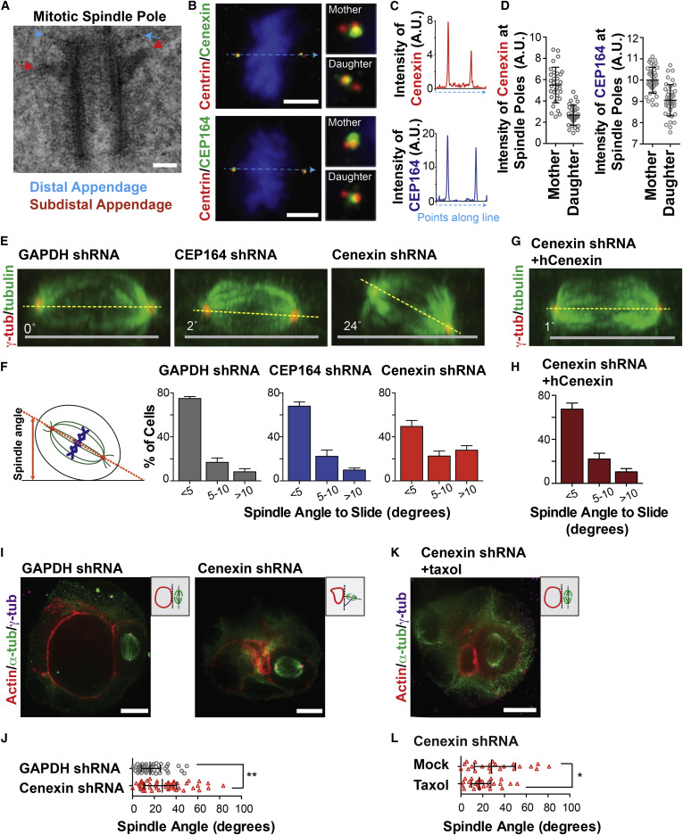 The Mother Centriole Appendage Protein Cenexin Modulates