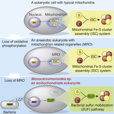 The essential mitochondrial ISC pathway was replaced by a bacterial SUF system