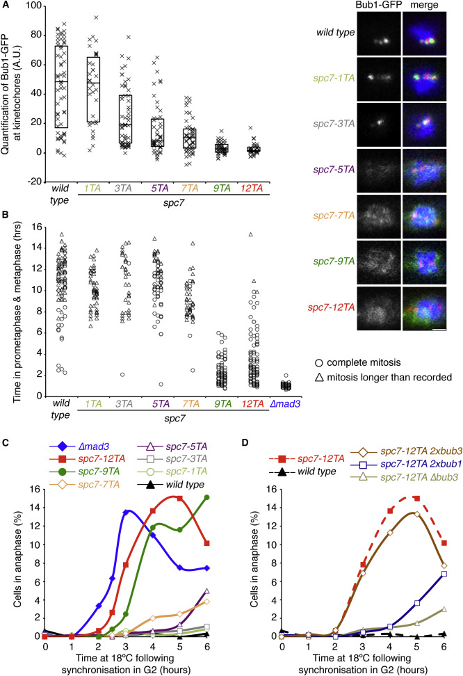Bub3-Bub1 Binding to Spc7/KNL1 Toggles the Spindle Checkpoint Switch