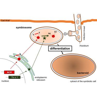 What Are Nitrogen Fixing Bacteria >> Regulation Of Differentiation Of Nitrogen Fixing Bacteria By