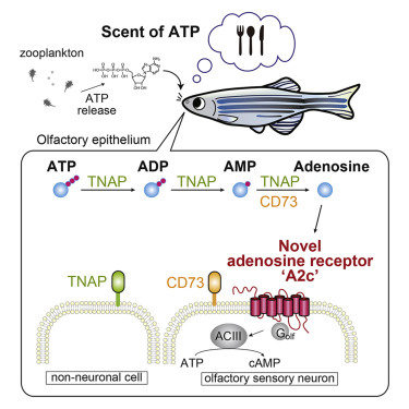 Navigator Neurons Play Critical Role In Sense Of Smell >> An Adenosine Receptor For Olfaction In Fish Sciencedirect