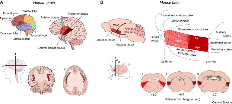 Insular Cortex Alterations In Mouse >> The Insular Cortex Sciencedirect