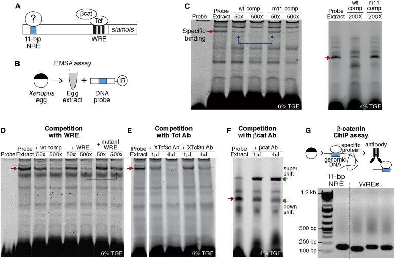 Two-Element Transcriptional Regulation in the Canonical Wnt Pathway