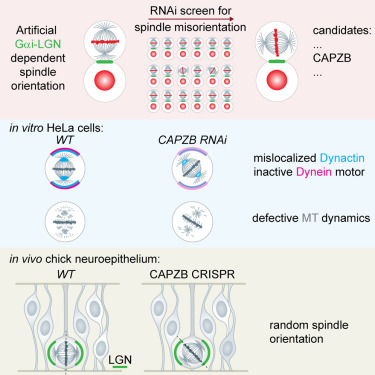 An RNAi Screen in a Novel Model of Oriented Divisions