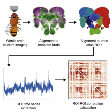 Whole Brain Calcium Imaging Reveals An Intrinsic Functional Network