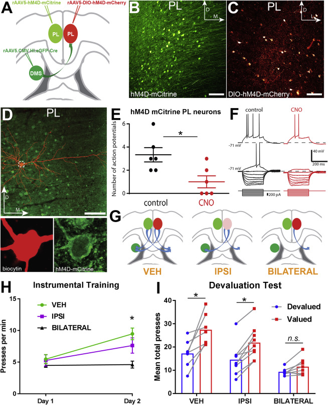 The Bilateral Prefronto-striatal Pathway Is Necessary for