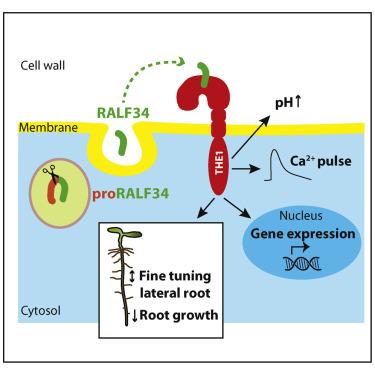 Receptor Kinase THESEUS1 Is a Rapid Alkalinization Factor 34