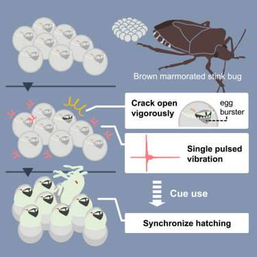 Egg-Cracking Vibration as a Cue for Stink Bug Siblings to