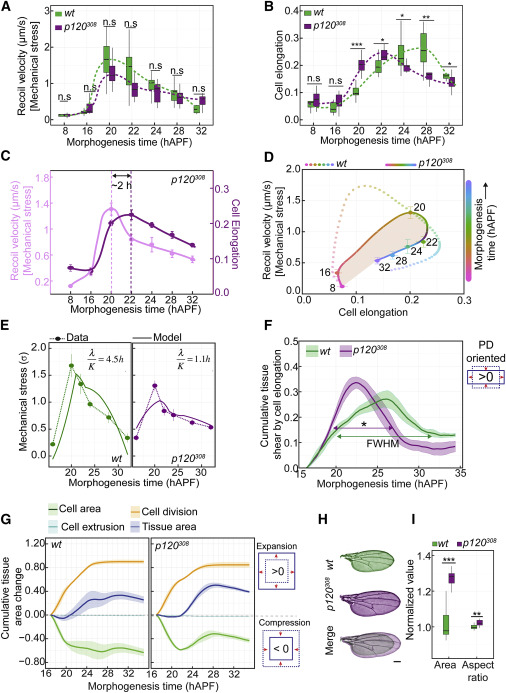 Epithelial Viscoelasticity Is Regulated by Mechanosensitive