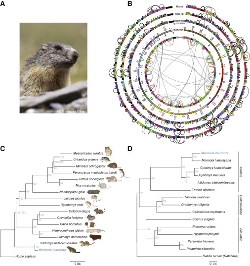 Ice-Age Climate Adaptations Trap the Alpine Marmot in a State of Low