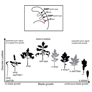 Multiple Auxin-Response Regulators Enable Stability and Variability