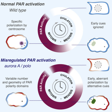 Regulated Activation of the PAR Polarity Network Ensures a Timely