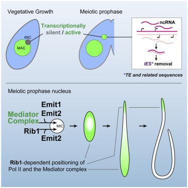 Non-coding RNA Transcription in Tetrahymena Meiotic Nuclei