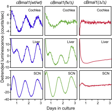 Circadian Regulation of Cochlear Sensitivity to Noise by