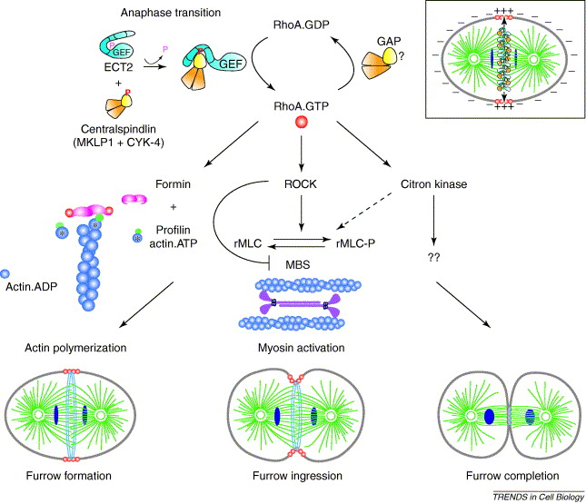 Cytokinesis Welcome To The Rho Zone Sciencedirect