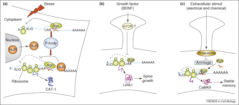 Repression Of Protein Synthesis By Mirnas How Many Mechanisms