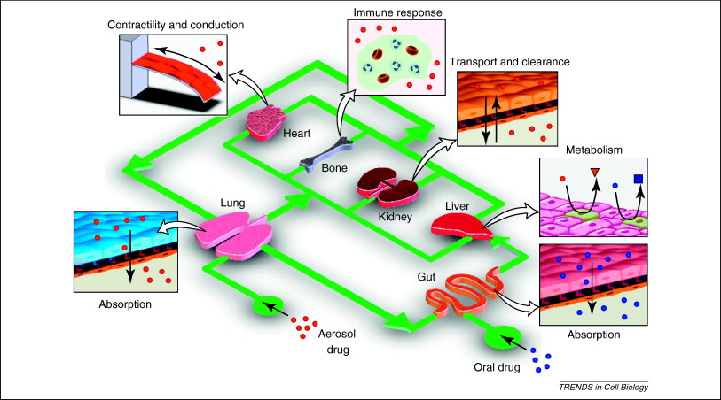 From 3D cell culture to organs-on-chips - ScienceDirect