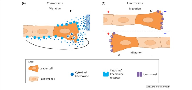 Collective cell migration: guidance principles and hierarchies