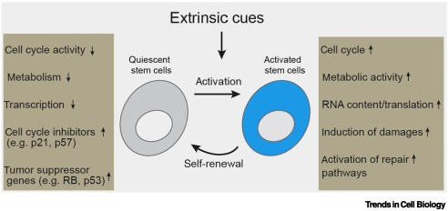 Quiescence: Good and Bad of Stem Cell Aging - ScienceDirect