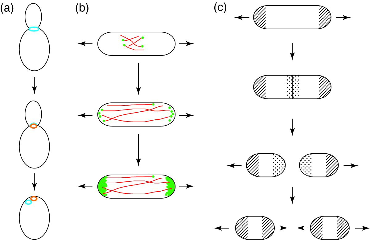 Discovering The Poles In Yeast Sciencedirect