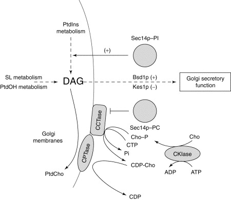 Phosphatidylinositol Transfer Proteins The Long And Winding Road To