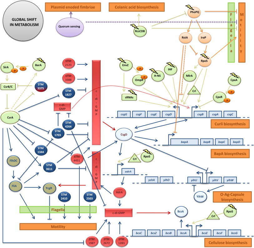 Salmonella Biofilms An Overview On Occurrence Structure