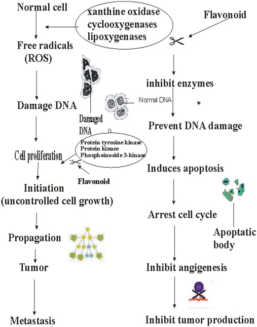 Therapeutic potential of flavonoids and their mechanism of action