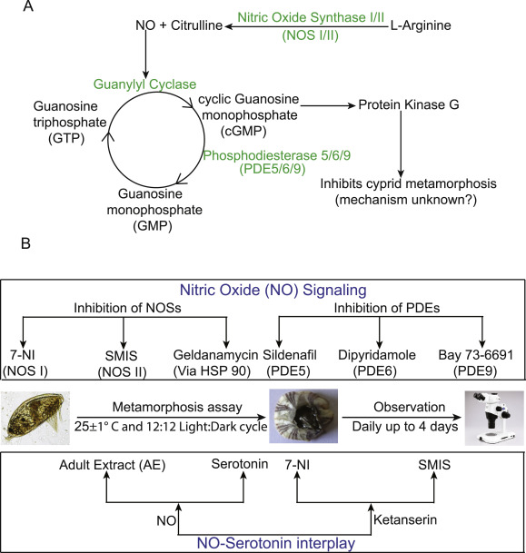 Nitric Oxide-Serotonin interplay in the cyprid metamorphosis of ...