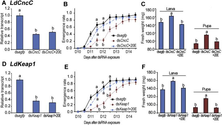 Leptinotarsa cap 'n' collar isoform C/Kelch-like ECH associated