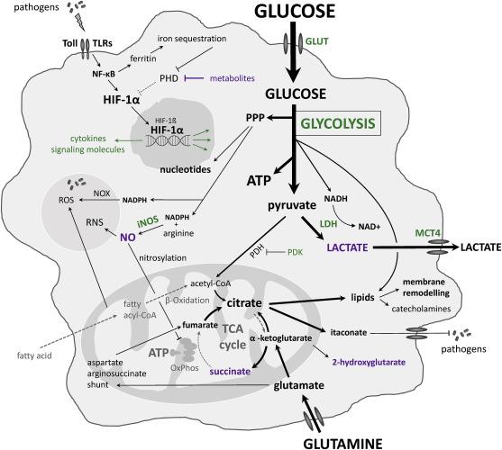 Key Molecule May Tie Immune Response To >> Molecular Regulations Of Metabolism During Immune Response In