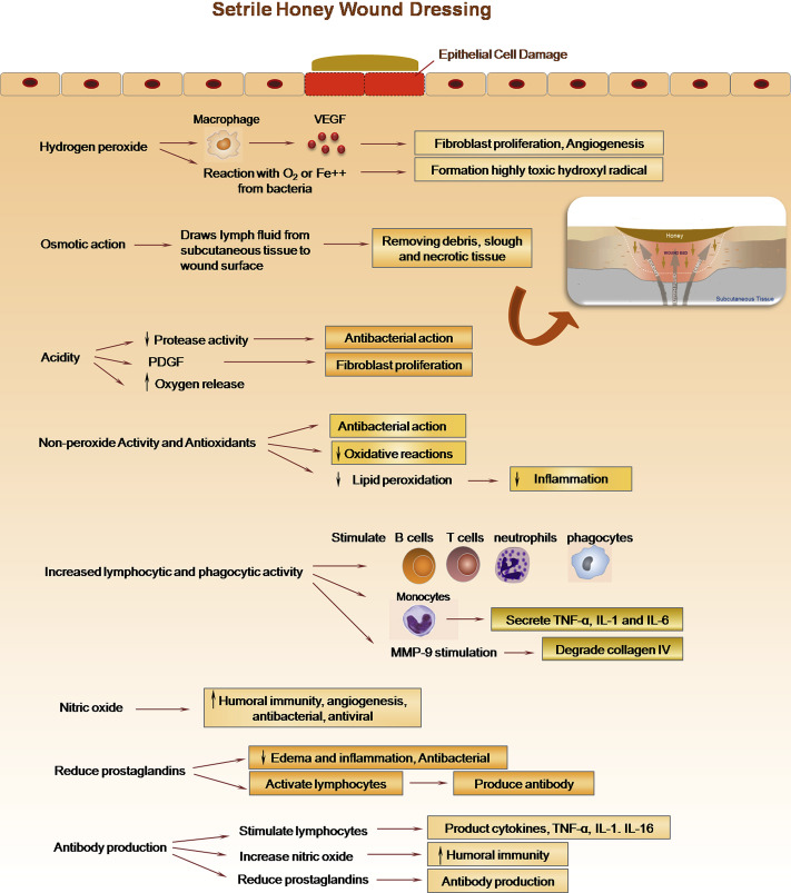 mechanisms of honey during wound healing