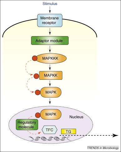 MAP kinase pathways as regulators of fungal virulence   ScienceDirect