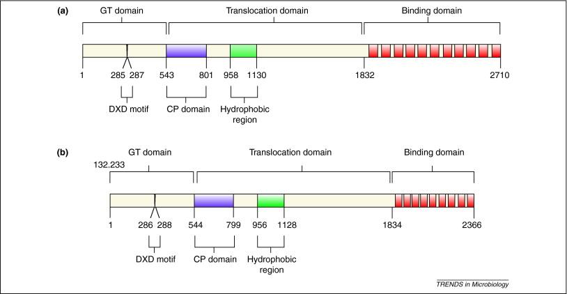 Clostridium difficile-toxine A/B