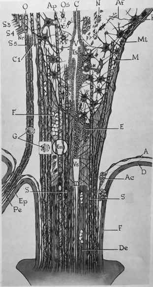 The Filum Terminale Internum And Externum A Comprehensive Review Sciencedirect In length, prolonged downward from the apex of the conus medullaris. filum terminale internum and externum