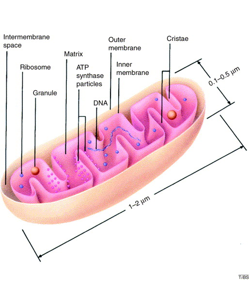 The Internal Structure Of Mitochondria Sciencedirect
