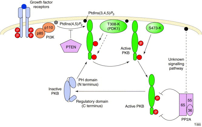 Ten years of protein kinase B signalling: a hard Akt to follow ...