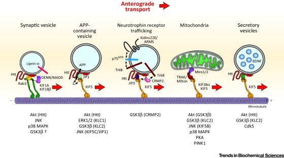 「axoplasmic transport motor」の画像検索結果