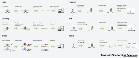 Mapping In Vivo RNA Structures and Interactions - ScienceDirect