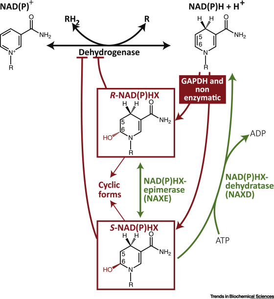 enzymatic diagram of glycolysis metabolite repair enzymes control metabolic damage in glycolysis  repair enzymes control metabolic damage
