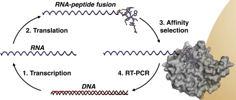 Structure-activity studies of a macrocyclic peptide