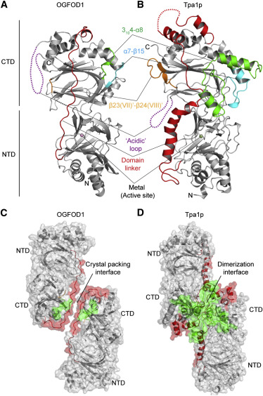 Structure of the Ribosomal Oxygenase OGFOD1 Provides